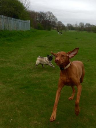 crazy-vizsla-going-for-a-run