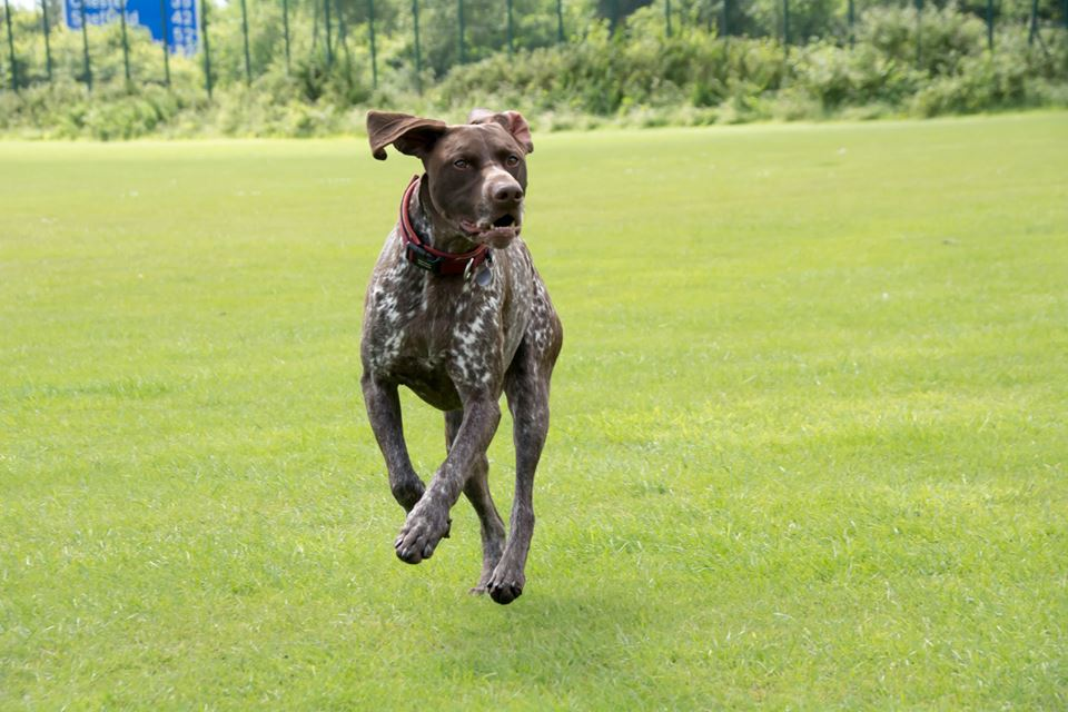 A gorgeous coloured pointer