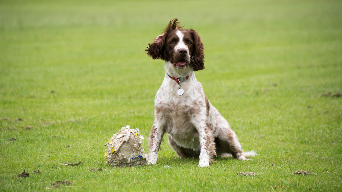Spaniel with her ball