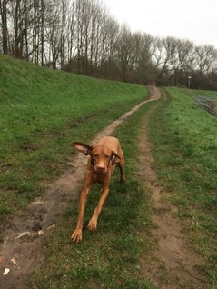 Vizsla having fun