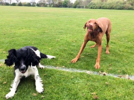 springer-spaniel-and-vizsla-on-walk