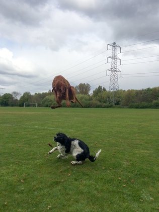 crazy-vizsla-jumping-like-a-kangaroo