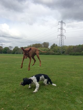 springer-spaniel-about-to-get-flattened-by-vizsla