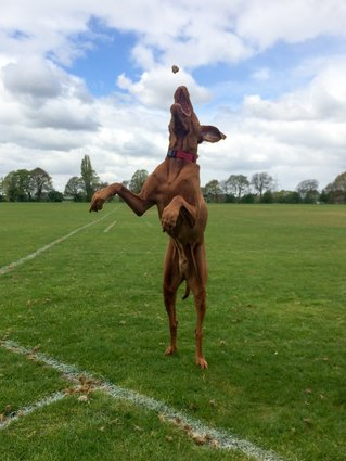 vizsla-walking-like-a-human