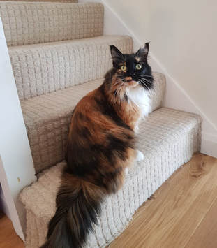 Cat sitting Maine Coons